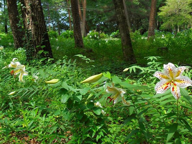 赤松林のヤマユリ 3